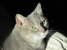 Pensive London, our grey tabby