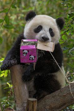 Xiao Liwu enjoying a birthday treat.