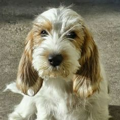 The Petit Basset Griffon Vendéen, or PBGV for short, is a small dog with a huge supply of energy. Learn more about this bouncing, blissful breed. Big Dogs, I Love Dogs, Small Dogs, Cute Dogs, Dogs And Puppies, Doggies, Medium Sized Dogs, Medium Dogs, Non Shedding Dog Breeds