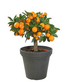 Exotic Fruit Trees You Can Grow Indoors Indoor Fruit Trees, Bonsai Fruit Tree, Dwarf Fruit Trees, Growing Fruit Trees, Potted Trees, Citrus Garden, Fruit Garden, Garden Trees, Cacti Garden