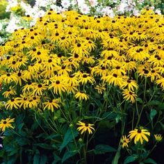 Black Eyed Susan...