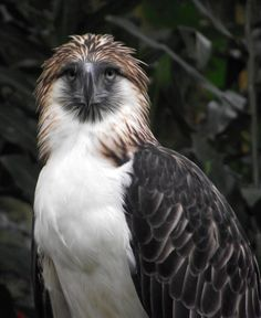 The Philippine Eagle (Pithecophaga jefferyi), also known as the Monkey-eating Eagle, and is endemic to forests in the Philippines. Asiatic Cheetah, Our National Bird, Philippine Eagle, Andean Condor, Harpy Eagle, Animal Species, Endangered Species, Eagle Bird, Horse Drawings