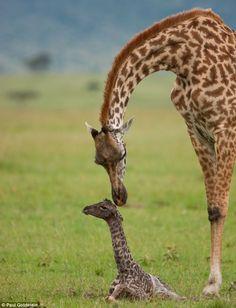 giraffe calves   Baby love: Mum gets to know her calf a little better as the baby still ...