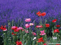 Lavender and poppies!