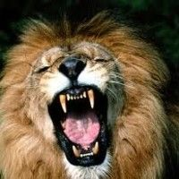 You are suddenly awakened by the gut wrenching roar of a fully grown male lion. Please Vote For Me, Daryl Hall, Hall & Oates, Male Lion, Love Pet, Got Him, Big Cats, Just Go, Backdrops