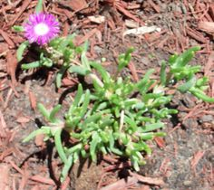 Ice Plant- succulent, perennial- Reduce watering in fall to help harden off Delosperma cooperi for winter. Cold will be less likely to damage their succulent leaves if they aren't quite so full of water.