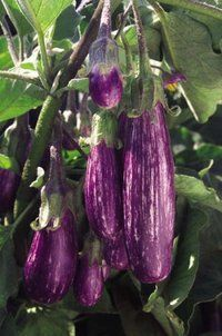 Vesseys Fairy Tale Eggplant Purple with white stripes. An AAS winner hybrid with great appearance and lovely flavour. These compact striped eggplants are great for container gardening. Abundant clusters can be picked as small as 2 oz or left to grow larger. 50 days from transplanting. Approx. 20 seeds/pkg.