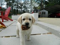 And this adorable pinecone thief. | 42 Of The Most Important Puppies Of All Time