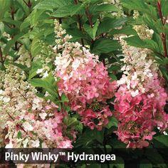 Caring For Hydrangeas Hydrangea Paniculata Pinky Winky Tree