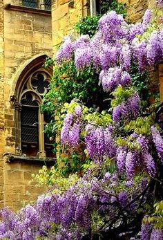 Wisteria growing outside an arched window....