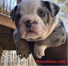 Blue Tri Merle English Bulldog Puppies for sale-