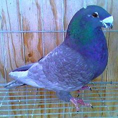 American Show Racer pigeons for sale