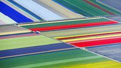 Blumenfelder des Keukenhofs im niederländischen Lisse     © Yves Herman/Reuters