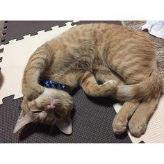 ウインクかいにゃん🐾✨ 子猫#こねこ#猫#ネコ#ねこ#かいすたぐらむ #にゃんこ#にゃんすたぐらむ#にゃんだふるらいふ#茶トラ#茶とら#cat#catstagram #browncat#browncatclub #茶とら猫 #かいちゃん#kittycat #neko#ねこのいる生活 #愛猫#保護猫#かいすたぐらむ#猫好き #猫好きさんと繋がりたい #2016年4月生まれの猫 #甘えん坊#猫の手#ピンクの肉球