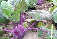 Jak pěstovat kedluben