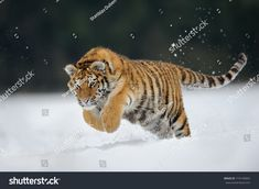 Tiger jumping on snow. Amur tiger in wild winter nature. Cold winter in tajga, Russia. Snowflake with beautiful Siberian tiger, Panthera tigris altaica image photo Big Cats, Cute Cats, Snow Tiger, Phone Wallpaper For Men, Japanese Art Prints, Tiger Pictures, Animal Action, Tiger Art, Siberian Tiger