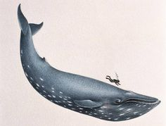 11 facts about blue whales, the largest animals ever known to live on Earth