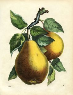 Printable Wall Decor Botanical Pears.  This sight has 4,000 free vintage images.