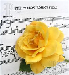 The Yellow Rose of Texas - I've always loved that song, and when I put in a rose garden, I always try to add a yellow one
