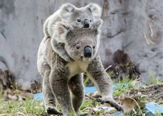 Koala mom and son