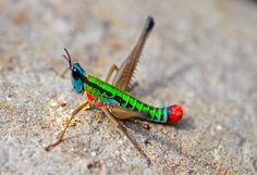 neon highlighter-colored grasshopper (Montecristo National Park, El Salvador)