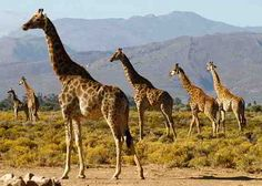 Beatiful Giraffes on a safari at Inverdoorn Reserve
