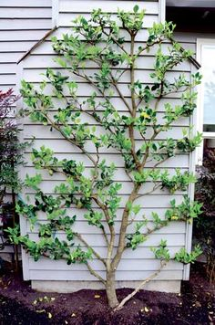 Liven up a large, flat plane with espalier as with this camellia. Almost any plant can be used, but plants with flexible branches are easiest.