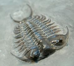 Ceraurus pleuraxanthemus Trilobite from Canada   Ceraurus pleuraxanthemus  Trilobites Order Phacopida, Family Cheiruridae  Geological Time: Middle Ordovician   Size: 49 mm  Fossil Site: Trenton Group, Neuville, Quebec, Canada