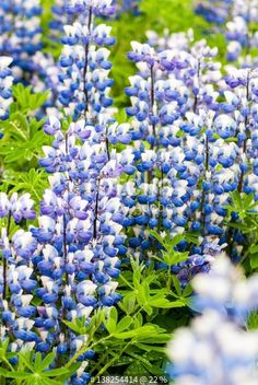 """""""Arctic lupine """" Stock photo and royalty-free images on Fotolia.com - Pic 138254414"""