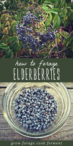 Elderberries (and elderflowers) are a wonderful edible and medicinal plant with many healing properties, uses, and benefits. They're an easy plan to identify and forage for. Learn all about foraging for elderberries and elderflowers, as well as their uses and properties in your herbalism and herbal medicine practice. #forage #foraging #elderberries #herbalism #herbalmedicine