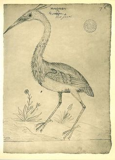 Cocoi Heron Vintage Bird Print Sketch Drawing  by carambas on Etsy