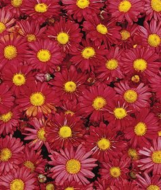 Garden Mum, Mammoth Daisy Red.Very hardy and dense-mounded;no need to prune or deadhead. Red mums are a must for vibrant fall color. Zones 3-9.
