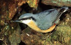 Naturgarten e.V. - Lieblingsfrüchte für Gartenvögel