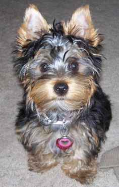 Australian Silky Terrier #Puppy #Dogs Look like Yorkie but Silkies are healthier!  Love Silkies!!!