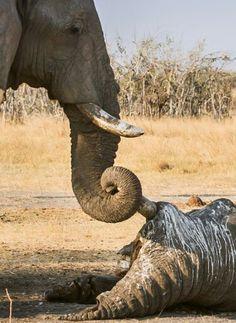 Los elefantes rinden tributo a sus muertos. Impresionante! !