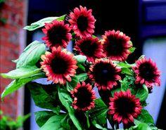 Chocolate Cherry Sunflower Black Magic N Prickly
