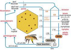 Schéma - Le cycle de vie de l'abeille