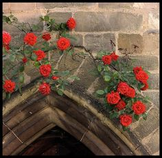 Roses climbing over a pointed arch.