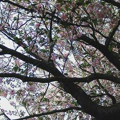 Worden park #cherryblossom#sunnyday#oldpic