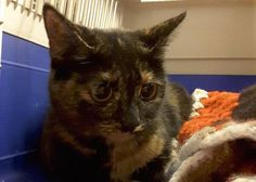 Hi I'm a volunteer at Yorkshire Cat rescue. We had this heavily pregnant female handed into us on 31/12/16 from the BD6 area of Bradford. NOT micro-chipped. If you recognise this cat please contact our office on 01535 647184 quoting 969/16.