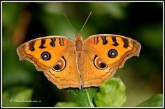peacock pansy - Junonia almana