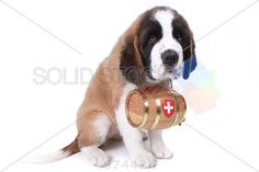 stock photo of a saint bernard puppy with rescue barrel around the neck
