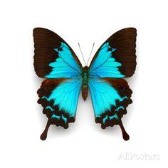 Ulysses Swallowtail Fotografie-Druck von Christopher Marley bei AllPosters.de