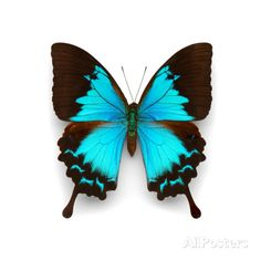 Ulysses Swallowtail Photographic Print by Christopher Marley at AllPosters.com