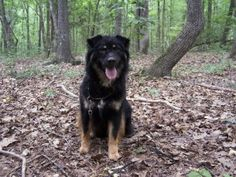 Jake is an adoptable Shepherd Dog in Winnsboro, SC. Jake was born April 2004. He has a beautiful black long think silky coat. He loves the water & if in his pool a lot. He is a bit shy around stranger...