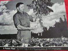 1950s school poster, the Potato plant