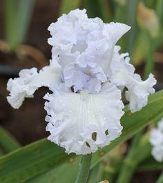 Photo of the bloom of Tall Bearded Iris (Iris 'Civility') Iris Flowers, Types Of Flowers, Flowers Nature, White Flowers, Planting Flowers, Beautiful Flowers, Iris Garden, Garden Plants, Orquideas Cymbidium