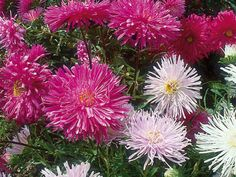 For the  China aster , sow during spring for feathery pink, crimson, or white flowers from late summer until late fall.