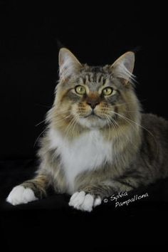 LAPD Shifu--TICA's top Maine Coon 2010-2011