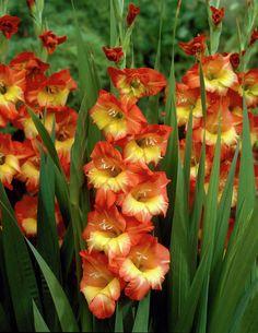 Gladiolus-butterfly-Georgette_34240_1280_1280.jpg (792×1024)